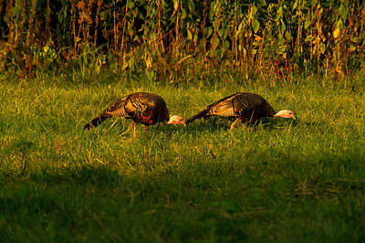 Grazing Wild Turkeys Poster by Douglas Barnett