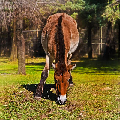 Grazing With An Attitude Poster