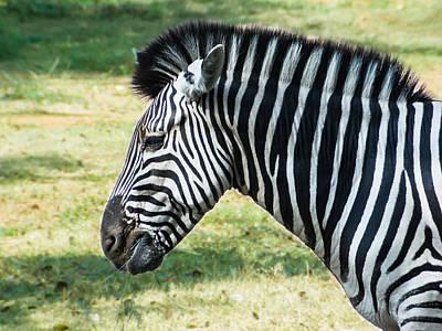 Grazing Zebra Poster