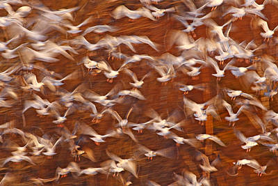 Great Black-backed Gulls Poster