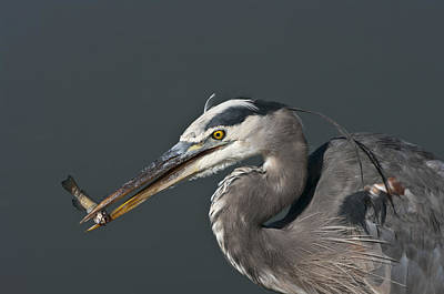 Great Blue Heron - 7345 Poster