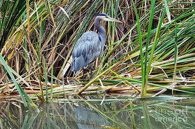 Great Blue Heron 9 Poster by Terry Elniski