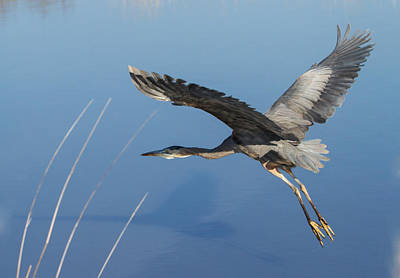 Great Blue Heron And His Shadow Poster