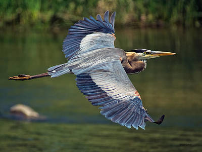 Great Blue Heron At The South Platte River Poster