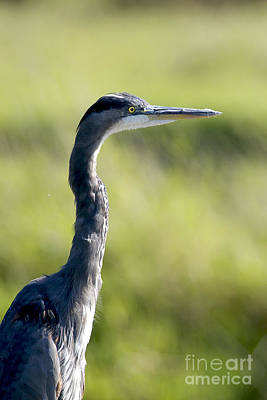 Great Blue Heron Backlit Poster