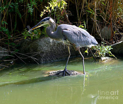 Great Blue Heron Catches Dragon Fly Poster