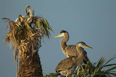 Great Blue Heron Chick In Nest, Ardea Poster