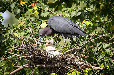 Great Blue Heron Chicks In Nest Poster