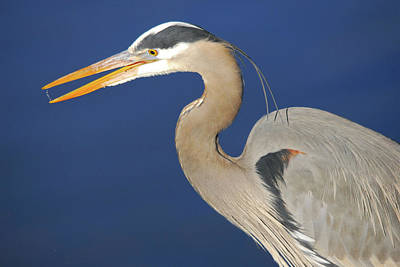 Great Blue Heron, Commonwealth Lake Poster