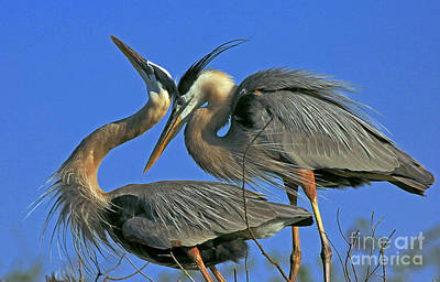Great Blue Heron Courting Pair Poster by Larry Nieland