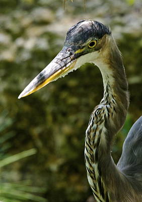 Great Blue Heron Poster by Dee Dee  Whittle