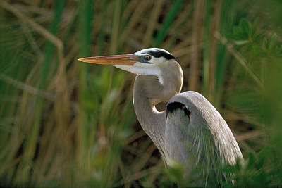 Poster featuring the photograph Great Blue Heron by Doug Herr