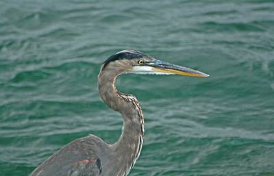 Great Blue Heron And The Mighty Niagara  Poster by Gothicrow Images