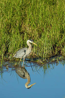 Great Blue Heron Hunting And Reflected Poster