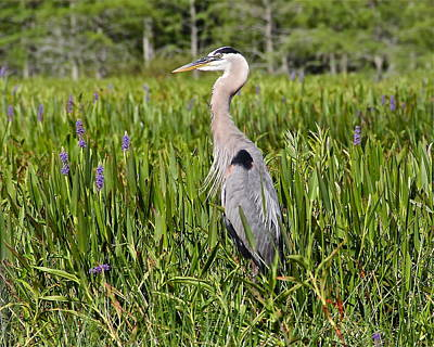 Great Blue Heron In Pickerel Plants Poster