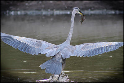 Great Blue Heron Inflight With Frog Poster by DJE  Photography
