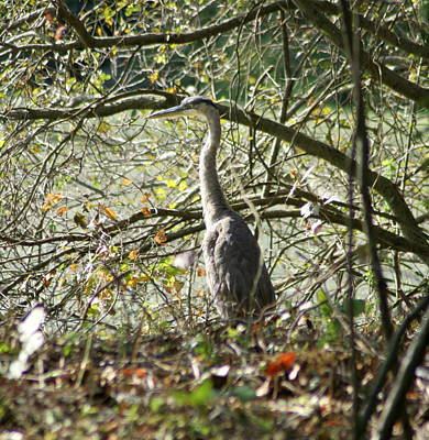 Poster featuring the photograph Great Blue Heron by Karen Silvestri