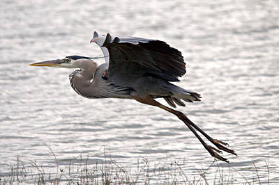 Great Blue Heron Landing Series 1 Poster