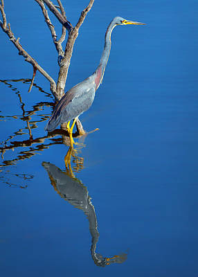 Tricolored Heron Poster by Nikolyn McDonald
