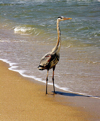 Great Blue Heron On The Surf. Poster