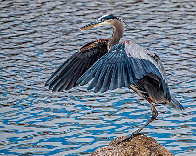 Great Blue Heron Pose Poster