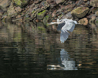 Poster featuring the photograph Great Blue Heron Reflections by Jennifer Casey