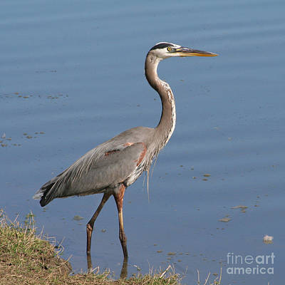 Poster featuring the photograph Great Blue Heron Wading by Bob and Jan Shriner