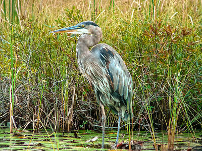Great Blue Heron Waiting For Supper Poster