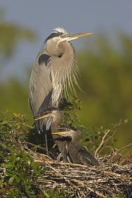 Great Blue Heron With Chicks Florida Poster by Tom Vezo