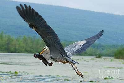 Great Blue Heron With Fish Poster by Roger Bailey