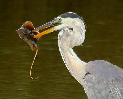 Great Blue Heron With Stingray Poster by Myrna Bradshaw