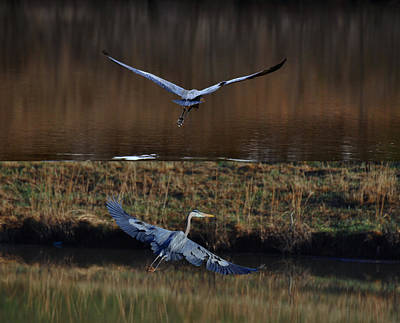 Great Blue Herons In Morning Flight 1346d2 Poster by Paul Lyndon Phillips