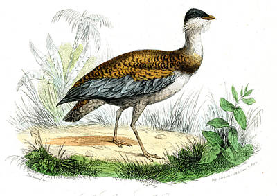 Great Bustard Poster by Collection Abecasis