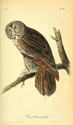 Great Cinerous Owl Poster