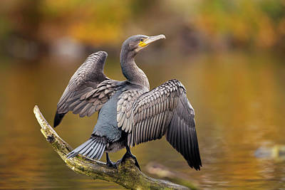 Great Cormorant Drying Its Wings Poster by Simon Booth