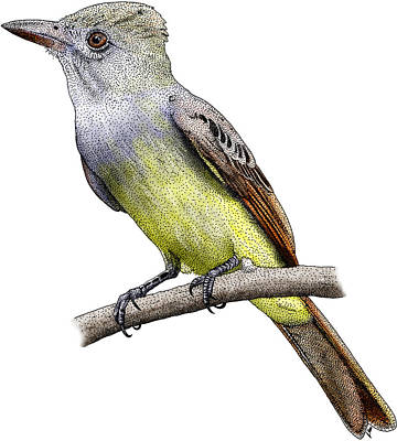 Great Crested Flycatcher Poster by Roger Hall