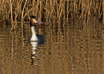 Poster featuring the photograph Great Crested Grebe by Paul Scoullar