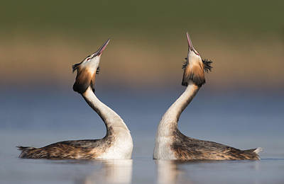 Great Crested Grebes Courting Poster