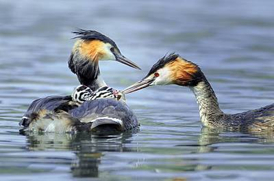 Great Crested Grebes Poster by Science Photo Library