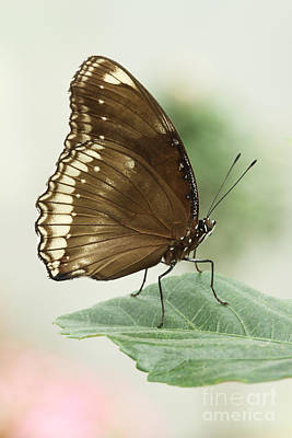 Great Eggfly Butterfly Poster by Judy Whitton