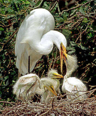 Great Egret Ardea Alba Feeding Chicks Poster by Millard H. Sharp