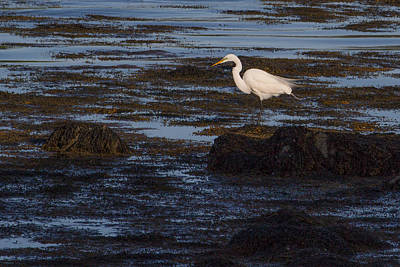 Great Egret At Avery Point Poster