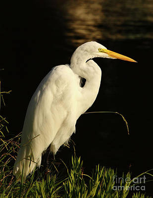 Great Egret At Morning Poster by Robert Frederick