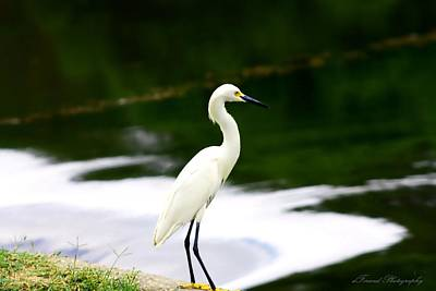 Great Egret Poster by Debra Forand