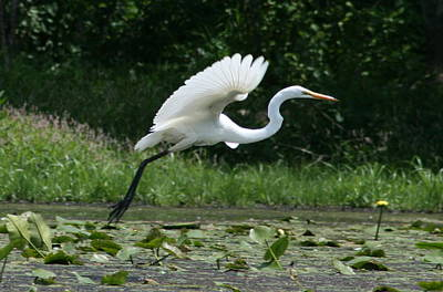Great Egret Elegance   Poster