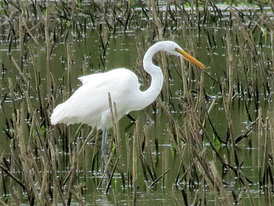 Poster featuring the photograph Great Egret by Eric Switzer