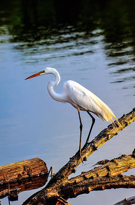 Great Egret Fishing Poster