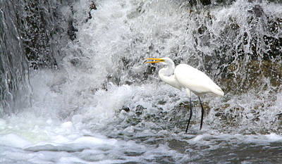 Great Egret Hunting At Waterfall Series 1 Poster