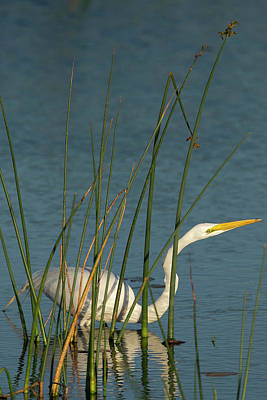 Great Egret Hunting For Its Food Poster
