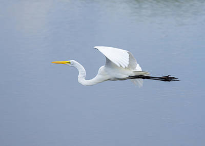 Poster featuring the photograph Great Egret In Flight by John M Bailey